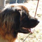 Leonberger Hund